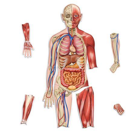 Modèle anatomique magnétique
