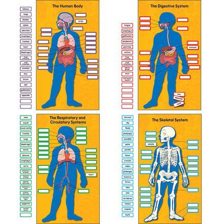 Human Body 4 Chart Bulletin Board Set