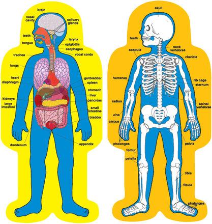 Child-Size Human Body Bulletin Board Set