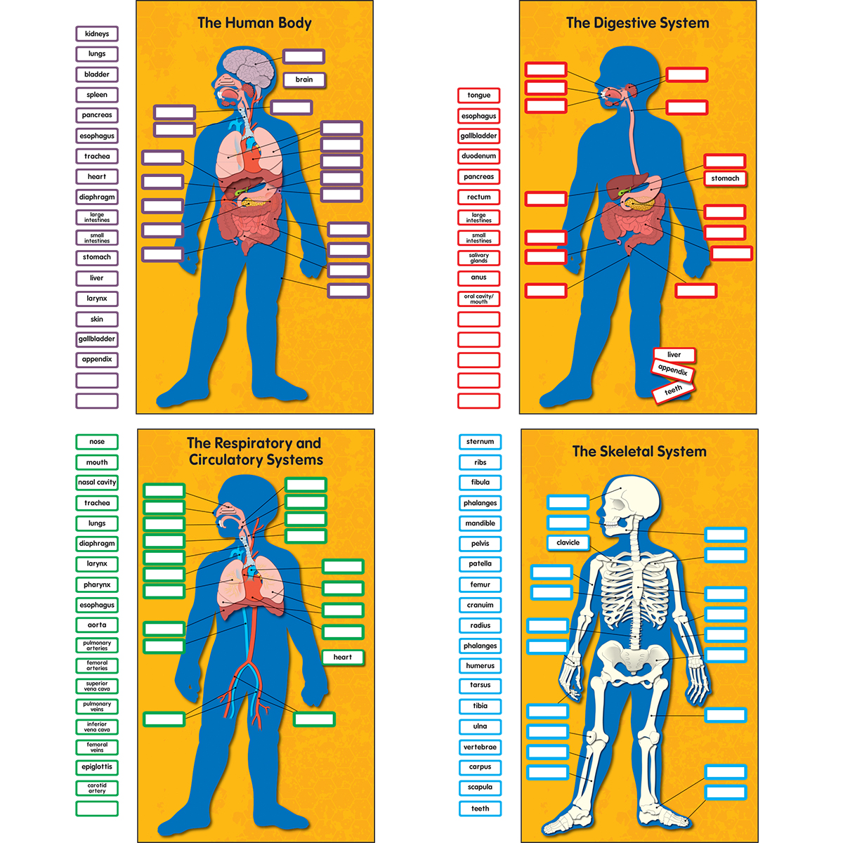 Human Body 4 Chart Bulletin Board Set