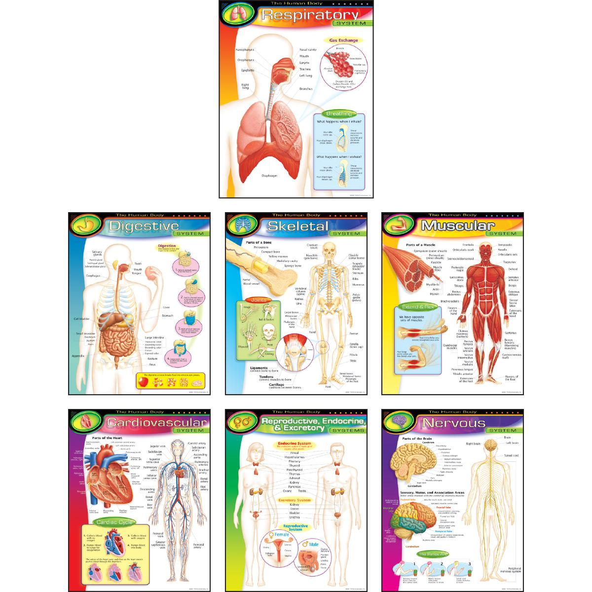 The Human Body Charts 7-Pack